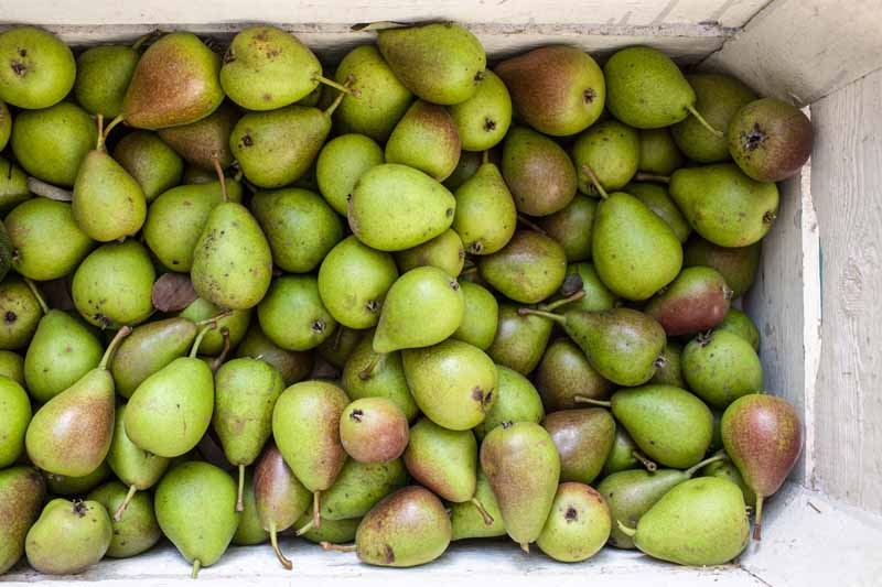 A close up horizontal image of freshly harvested Pyrus communis fruit set in a wooden box.