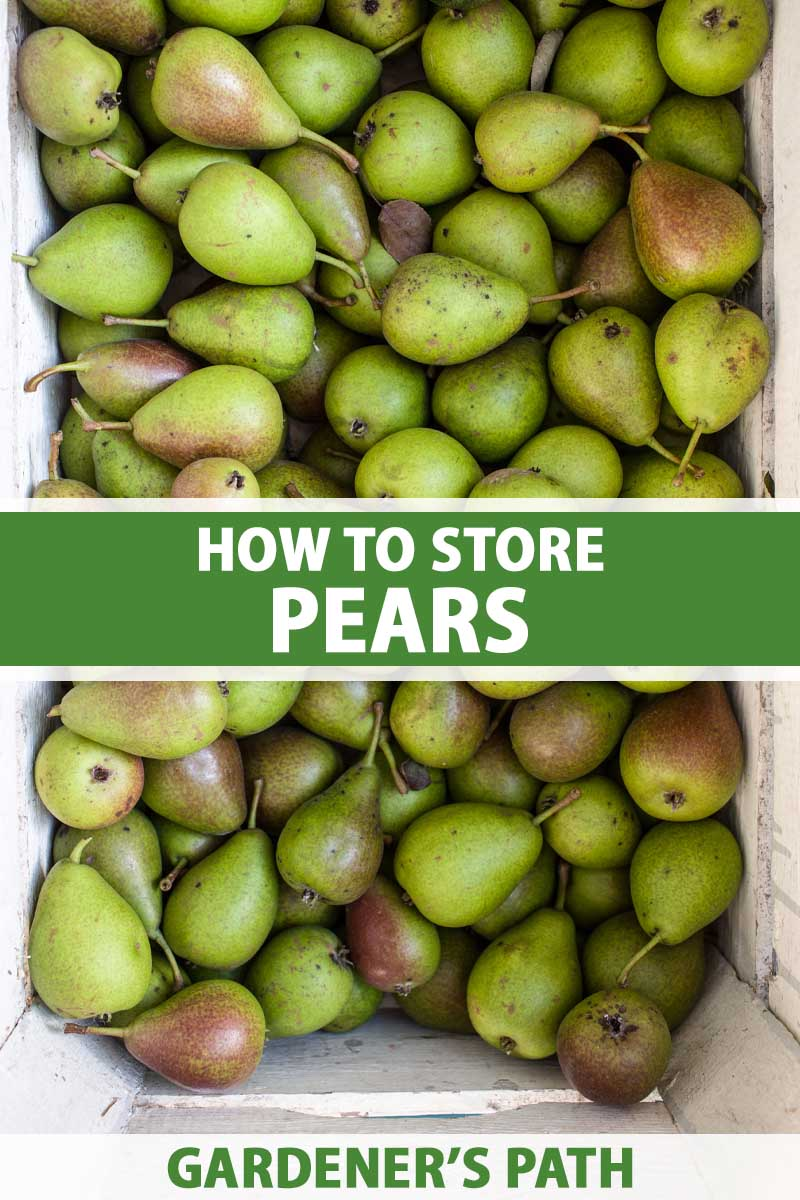 A close up vertical image of a box filled with freshly harvested pears. To the center and bottom of the frame is green and white printed text.