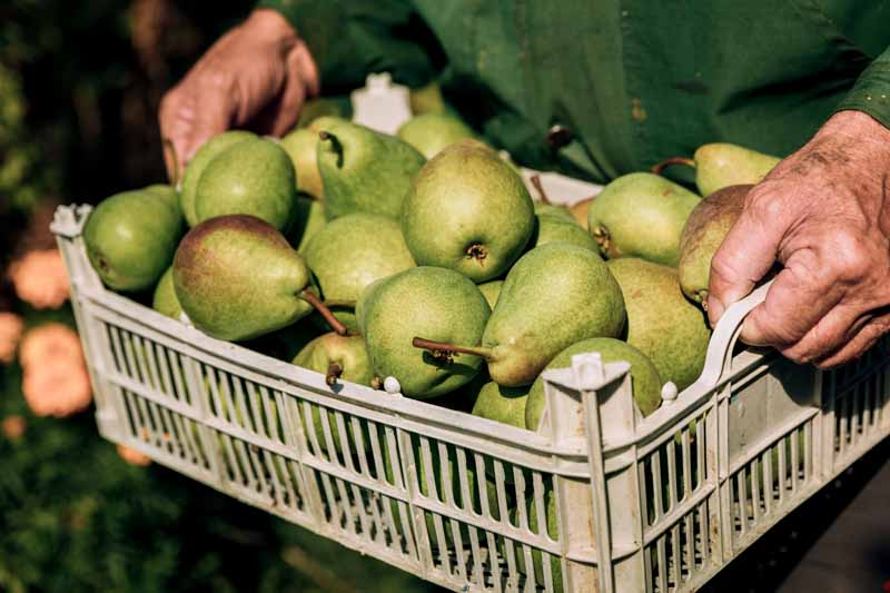 A close up horizontal image of a man carrying a plastic crate containing a pile of freshly harvested pears, pictured in bright sunshine on a soft focus background.