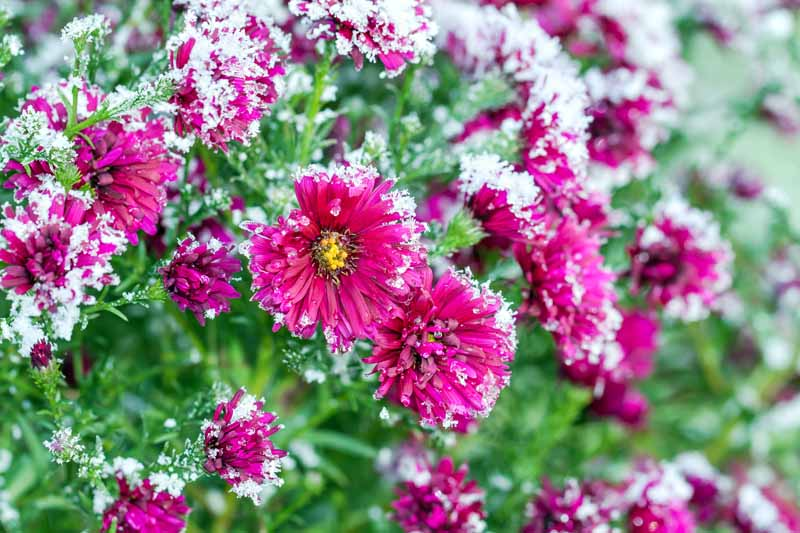 A close up horizontal image of pink chrysanthemums growing in the garden with frost on the plants.
