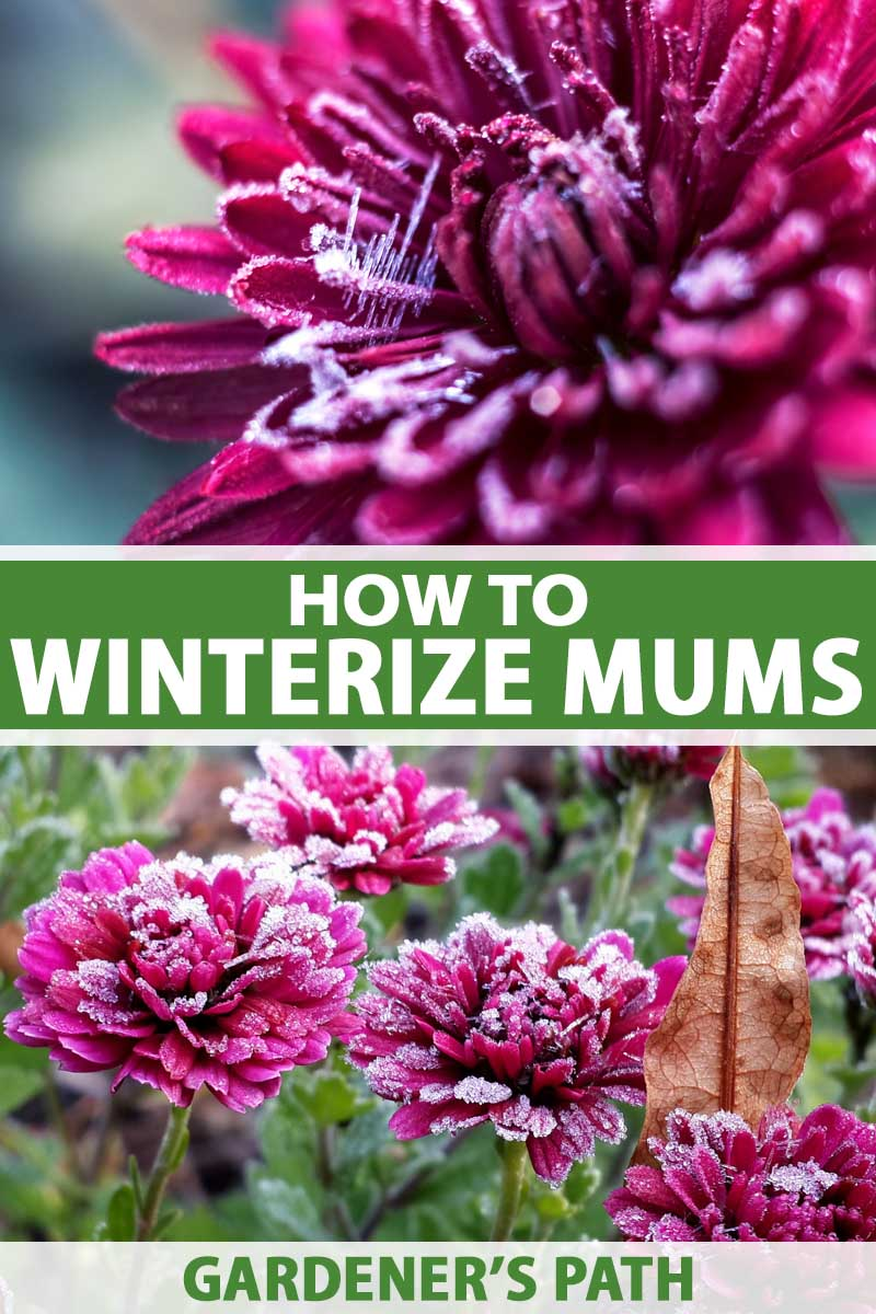 How To Overwinter Hardy Garden Chrysanthemums Gardener S Path