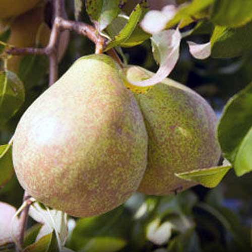 A close up of the fruit of the 'Kieffer' pear tree, pictured in bright sunshine on a soft focus background.