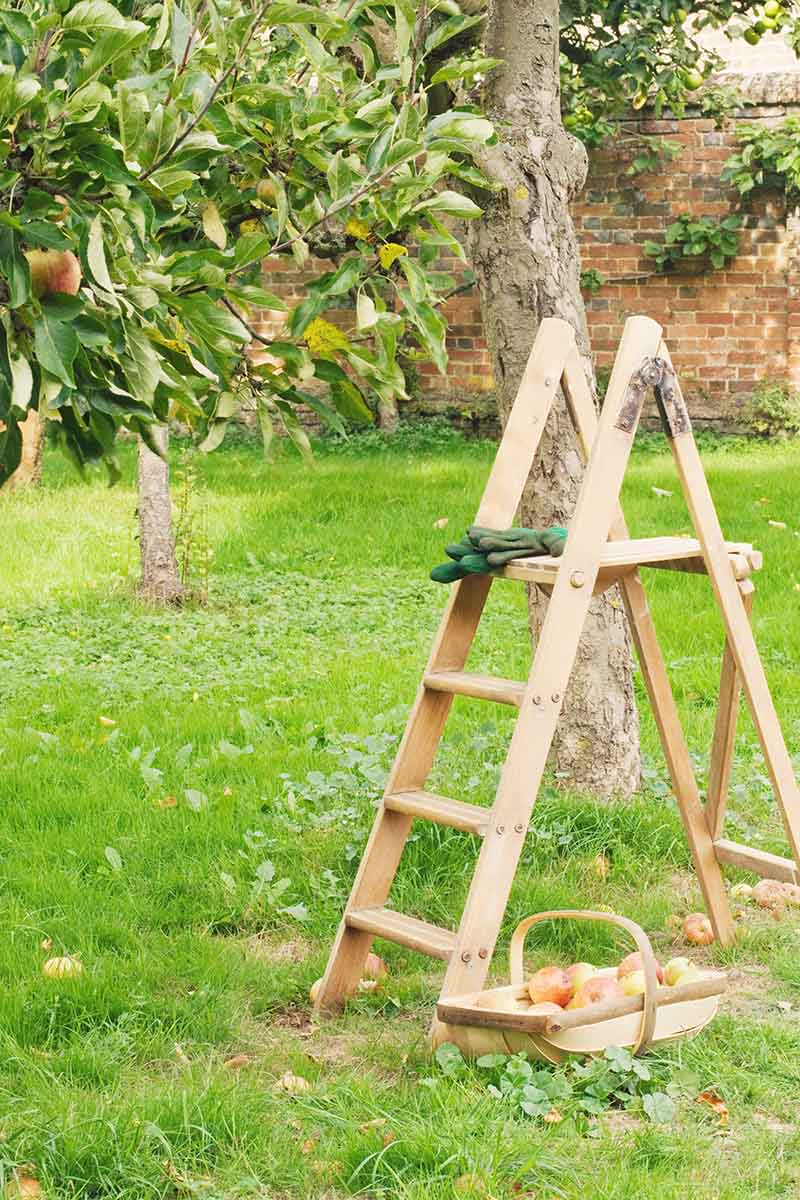 A vertical image of an orchard with a wooden ladder set up against a tree with green gardening gloves on the top rung. In the background is lawn and a brick fence.