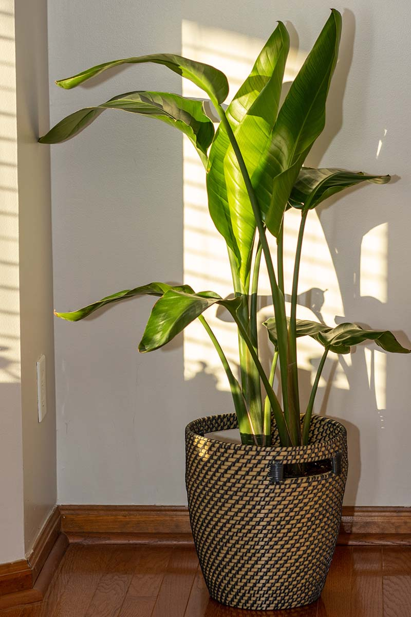 A close up vertical image of a Strelizia reginae plant growing in a sunny window set on a wooden floor.