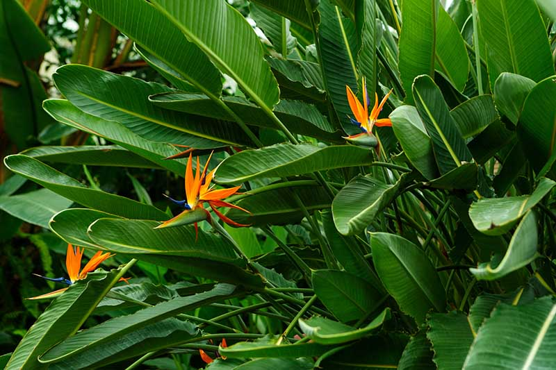 A close up horizontal image of Strelitzia reginae growing in the garden pictured on a soft focus background.