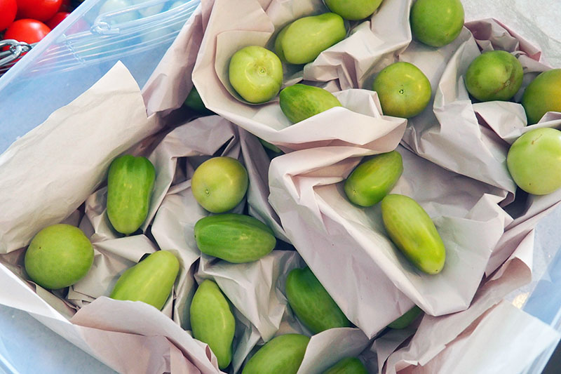 A close up horizontal image showing a plastic box with layers of green tomatoes and paper in between to set aside for ripening.