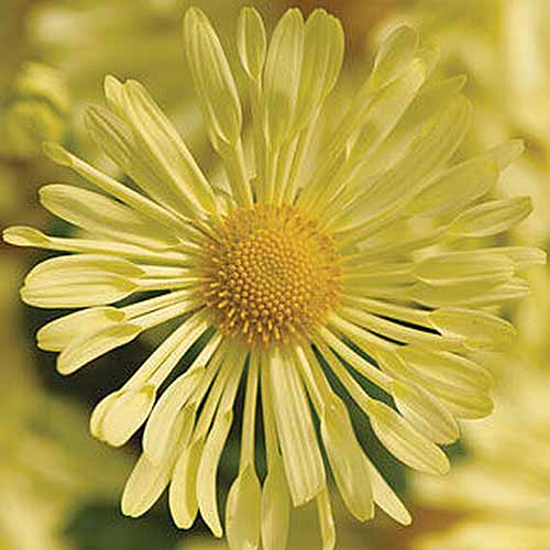 A close up square image of a yellow 'Mammoth Daisy Quill' chrysanthemum pictured on a soft focus background.