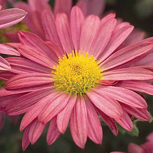 A close up square image of 'Mammoth Daisy,' a pink hardy mum growing in the garden pictured on a dark soft focus background.
