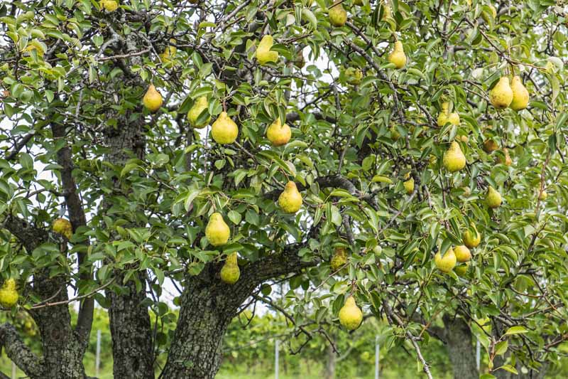 A close up horizontal image of a pear tree growing in a home orchard laden with fruit that's ready for picking.