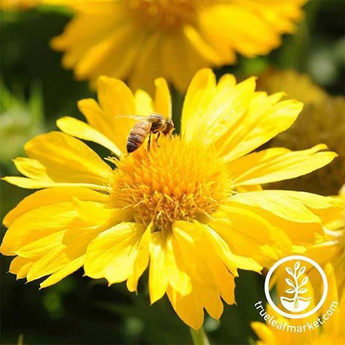 A close up square image of the bright yellow flower of 'Mesa Yellow' with a bee feeding on it, pictured in bright sunshine. To the bottom right of the frame is a white circular logo with text.