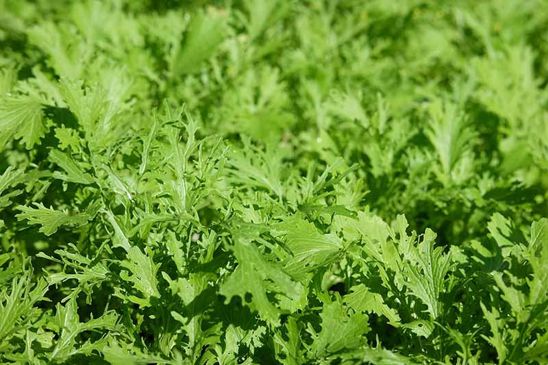 A close up horizontal image of bright green mizuna growing in the garden pictured in bright sunshine.