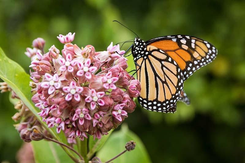 Una imagen horizontal de cerca de una mariposa monarca alimentándose de una pequeña flor rosa representada en la luz del sol sobre un fondo verde de enfoque suave.