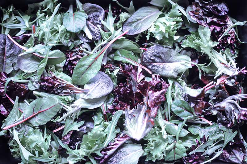 A close up horizontal image of a salad of lettuce and mustard greens.