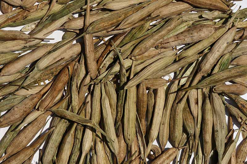 A close up horizontal image of dried pods ready for harvest.