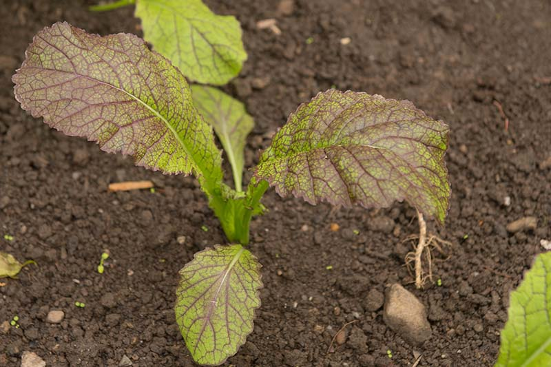 A close up horizontal image of a small seedling growing in the garden surrounded by dark, rich soil.