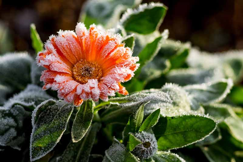 A close up of a pot marigold flower covered in a light frost pictured in filtered sunshine on a soft focus background.