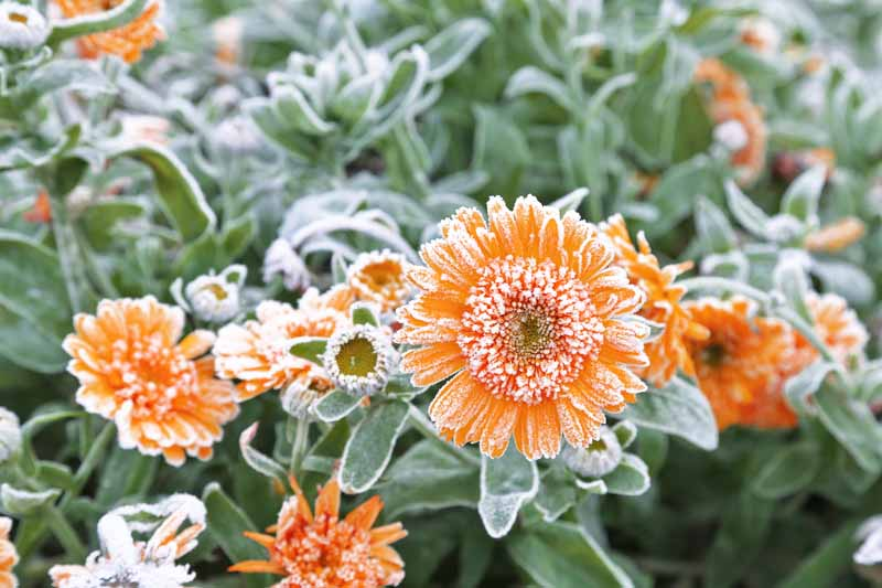 A close up horizontal image of orange flowers and foliage with a light dusting of frost.