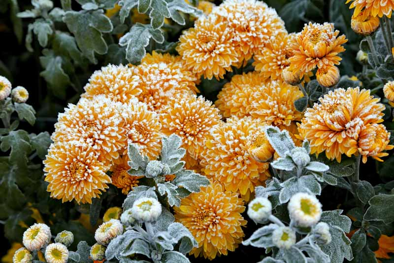 A close up horizontal image of yellow chrysanthemums growing in the garden covered in frost.