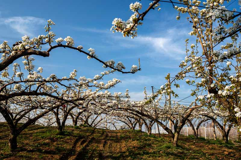 A horizontal image of an orchard of Pyrus pyrifolia trees in full bloom pictured in light sunshine on a blue sky background.