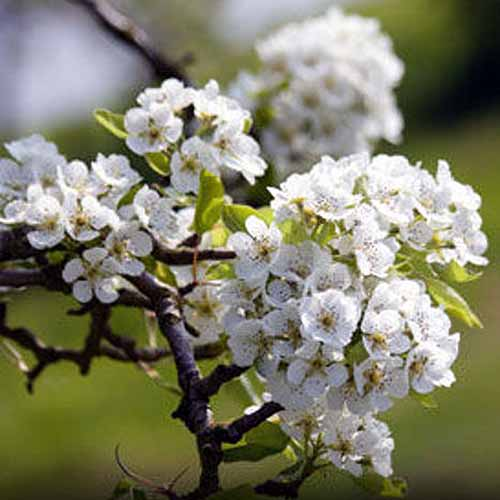 A close up of the blossom of the 'Orient' pear tree, pictured in bright sunshine on a soft focus background.
