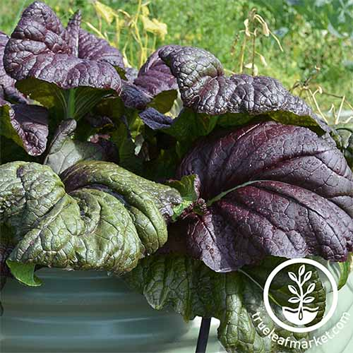 A close up of the large purple leaves of 'Osaka Purple' growing in a green container, pictured in bright sunshine. To the bottom right of the frame is white circular logo with text.