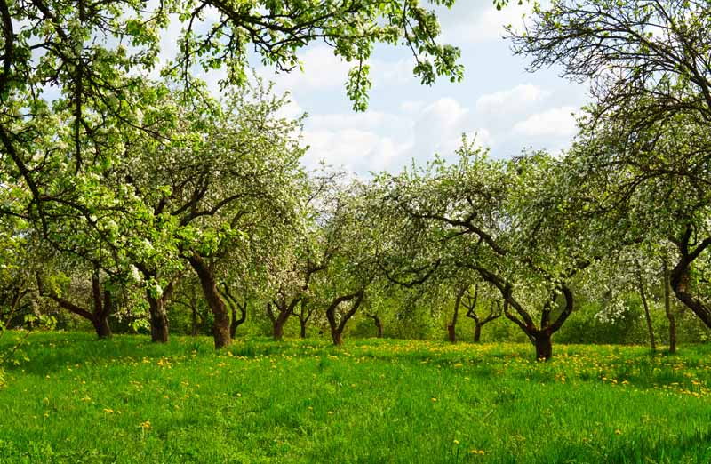 A horizontal image of a mature pear orchard with large trees in full bloom and blue sky in the background.