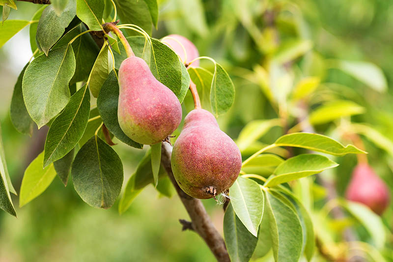 A close up horizontal image of pears growing on the branch ready for harvest, pictured on a soft focus background.