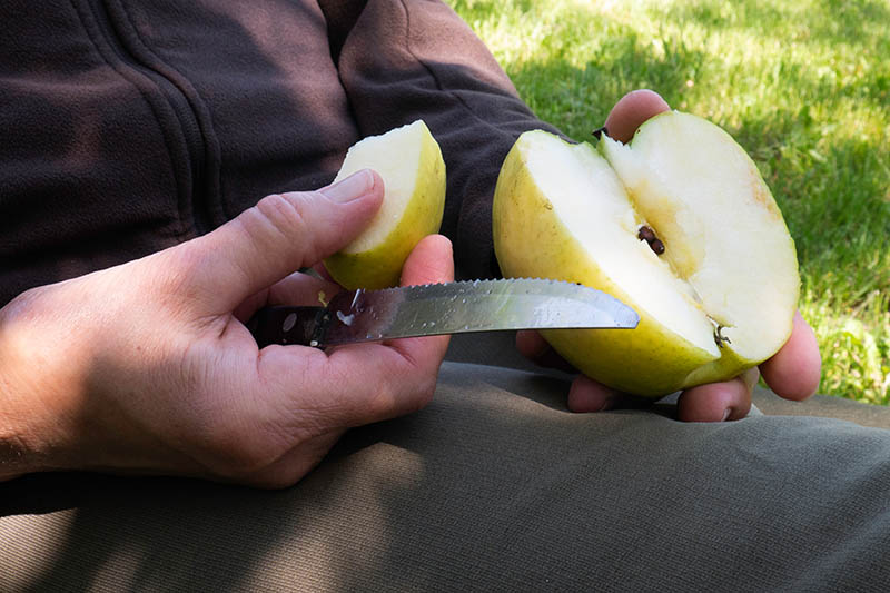 A close up horizontal image of a person sitting on a chair in the garden using a knife to cut chunks out of a freshly harvested yellow fruit, pictured in light filtered sunshine with lawn in soft focus in the background.