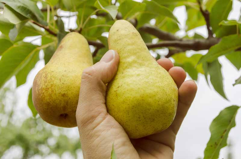 A close up horizontal image of a hand from the bottom of the frame grasping a pear growing on a tree, ready to harvest pictured on a soft focus background.