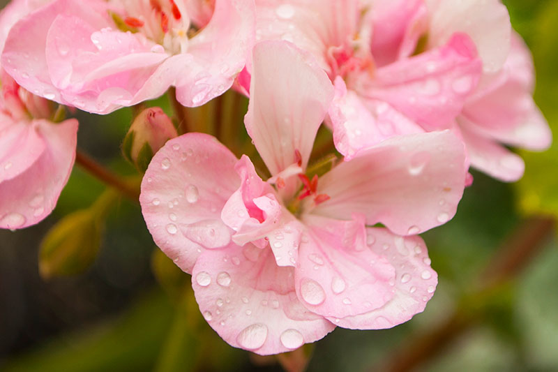 A close up horizontal image of bright pink flowers with water droplets on the petals pictured on a soft focus background.