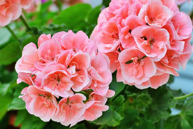 A close up horizontal image of bright pink geranium flowers growing in the garden pictured on a soft focus background.