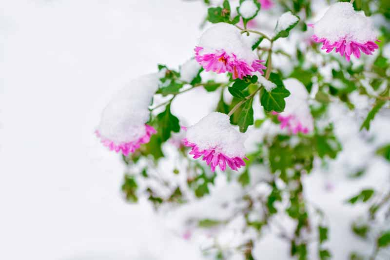 A close up horizontal image of pink chrysanthemums growing in the garden covered in snow, pictured on a soft focus background.