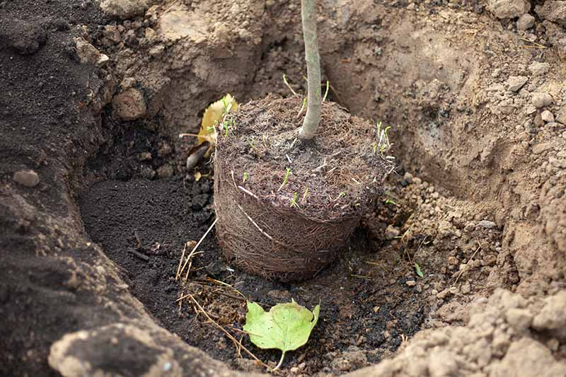 A close up horizontal image of the root ball of a tree being planted in a hole in the garden.