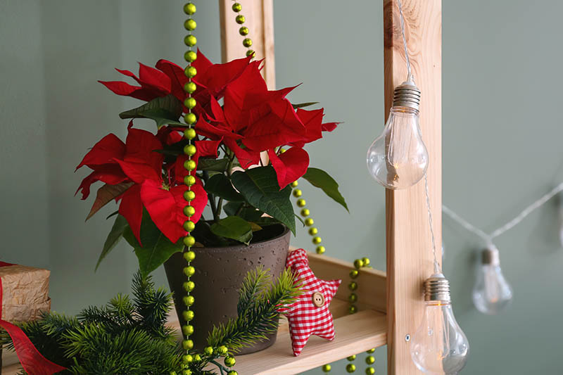 A close up horizontal image of a wooden shelf decorated for the holidays with ornaments, lights, and a Euphorbia pulcherrima plant.