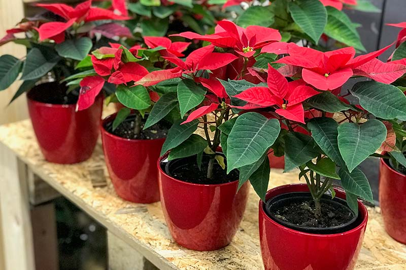 A close up horizontal image of Christmas flowers with bright red bracts in small decorative pots set on a wooden surface.