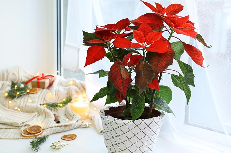 A close up horizontal image of a Euphorbia pulcherrima plant with bright red bracts set on a windowsill with holiday decorations in soft focus in the background.