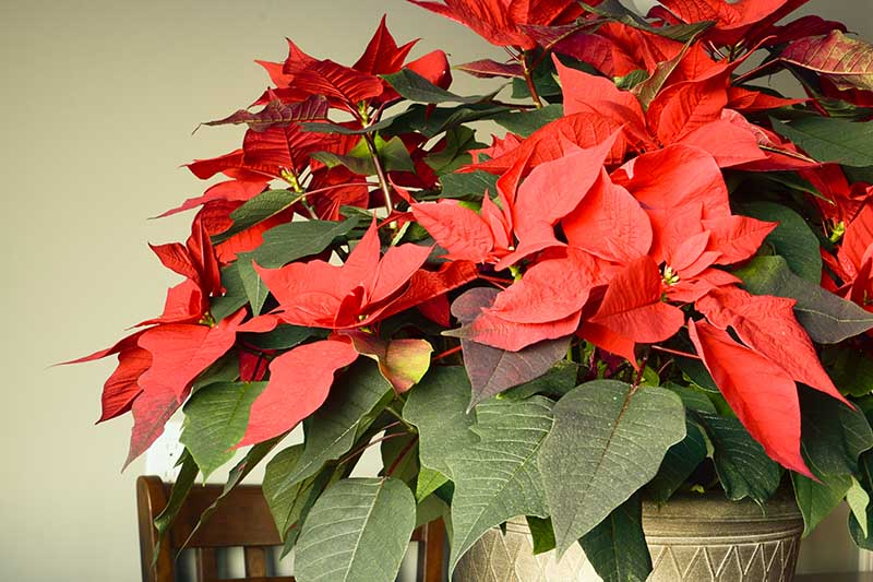 A close up horizontal image of a large mature Christmas flower with bright red bracts in a gold decorative pot growing indoors.