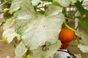 How to Prevent and Treat Powdery Mildew on Pumpkin Plants