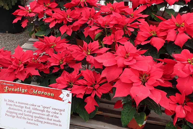 A close up horizontal image of bright red potted 'Prestige Moon' poinsettias on a wooden surface. To the bottom left of the frame is a red and white signboard.