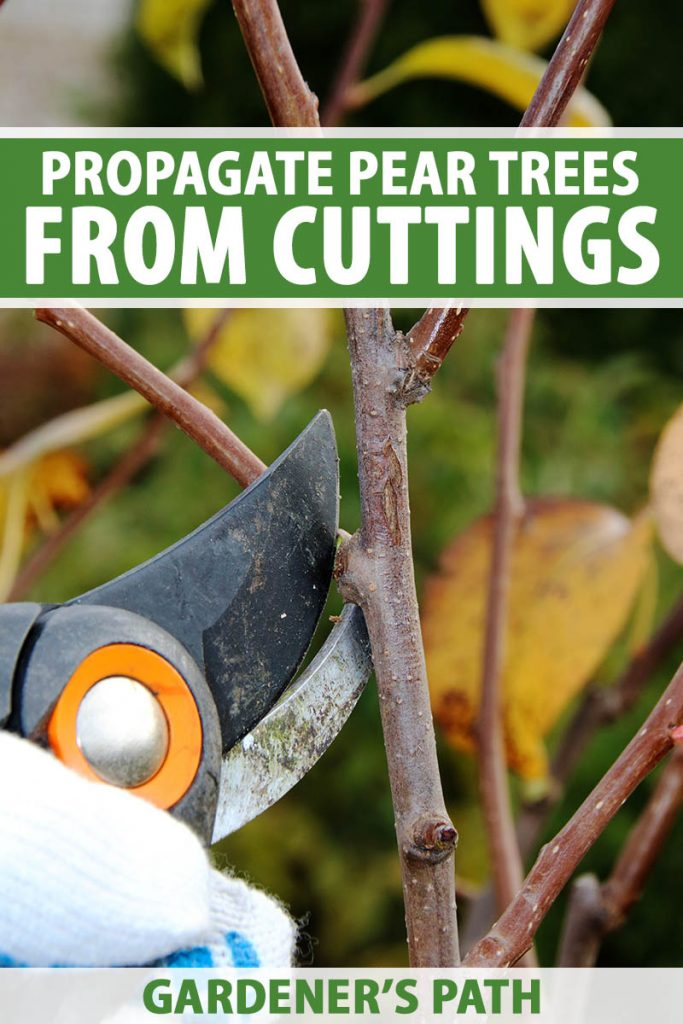 A close up vertical image of a hand from the left of the frame holding a pair of pruning shears and taking a cutting from a fruit tree. To the top and bottom of the frame is green and white printed text.
