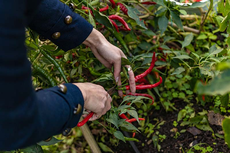 A close up horizontal image of hands from the left of the frame pruning off red peppers from a bush.