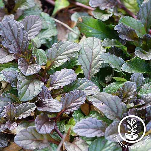 A close up square image of the small dark colored leaves of 'Purple Wave' growing in the garden. To the bottom right of the frame is a white circular logo with text.