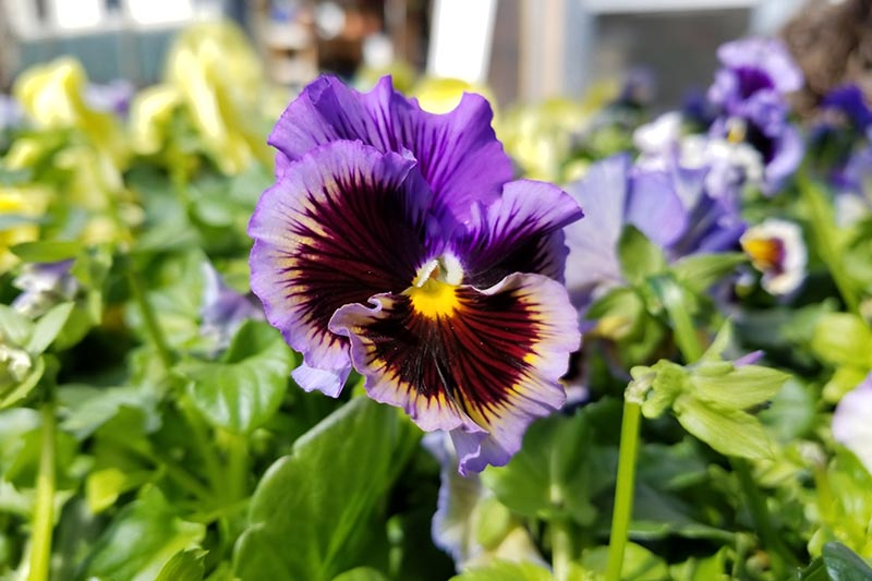 A close up horizontal image of a purple winter pansy growing in the garden pictured in light sunshine on a soft focus background.