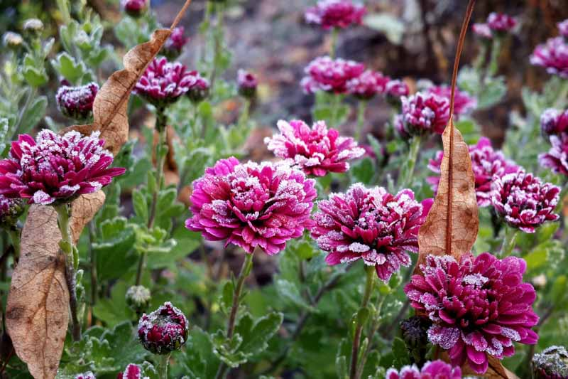 A close up horizontal image of purple chrysanthemums growing in the garden covered with morning frost and brown autumn leaves scattered around.