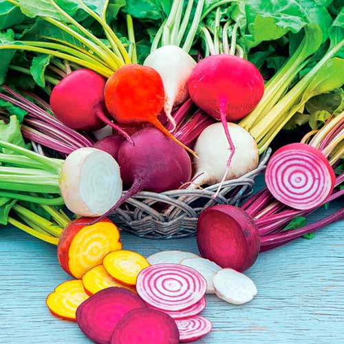 A close up square image of various different types of beets, some are striped, others white, in addition to the deep red and golden yellow, set on a blue rustic wooden surface.