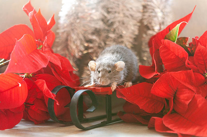 A close up horizontal image of a rat on a red and black miniature sleigh in between two Euphorbia pulcherrima plants, with silver tinsel in soft focus in the background.