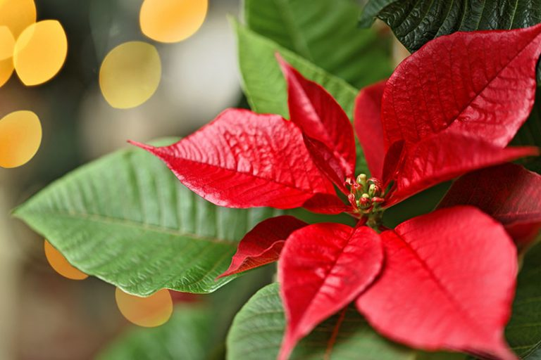 A close up horizontal image of the bright red bracts of the poinsettia plant pictured on a soft focus background.