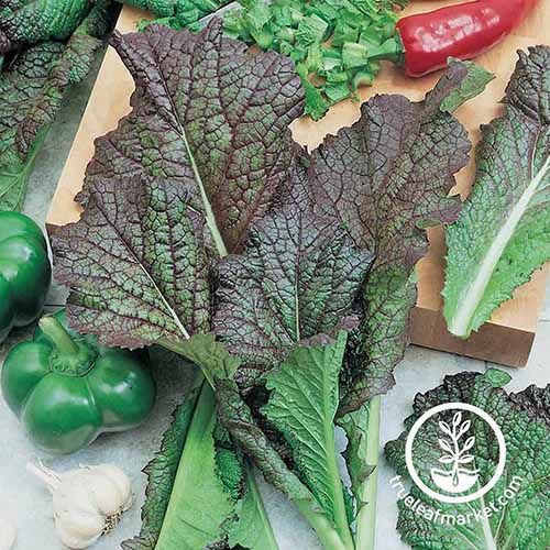 A close up square image of the large dark leaves of 'Red Giant' in the kitchen with a green pepper and garlic to the bottom of the frame. To the bottom right of the frame is a white circular logo with text.