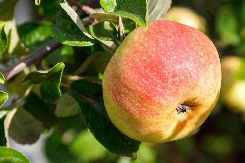 A close up horizontal image of a mature, ripening apple with yellow and red skin, surrounded by light green foliage, pictured in bright sunshine on a soft focus background.
