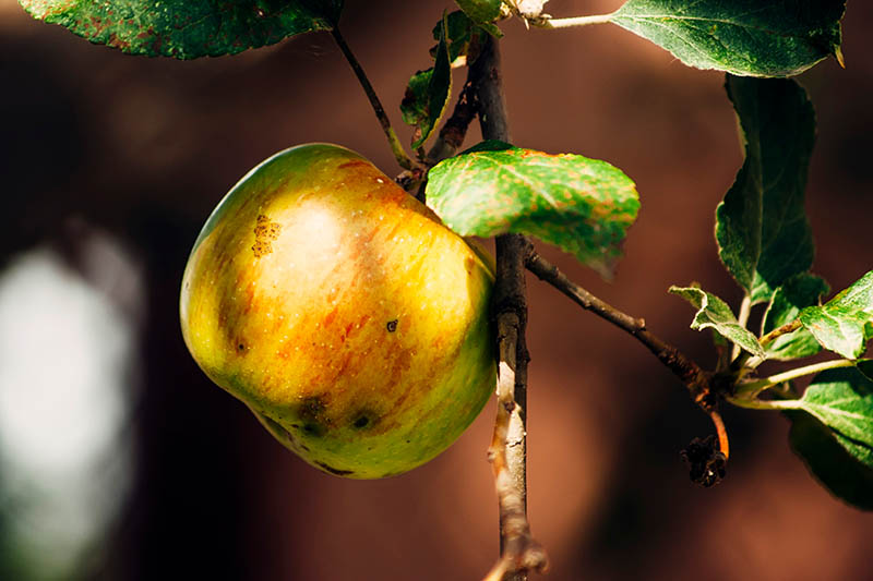 A close up horizontal image of a single fruit hanging from the tree, suffering from a disease that has caused black spots on the skin, pictured in light filtered sunshine on a soft focus background.